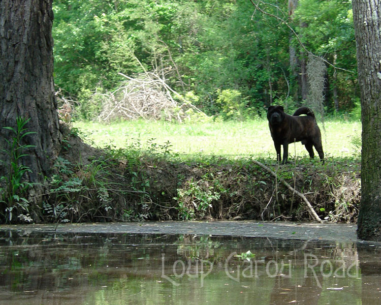 Spirit Dog on the Bayou